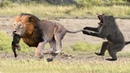 The Life Of A Very Fragile Baby Monkey Before a Hungry Lion