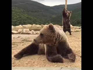 Just some bearly legal pole dancing