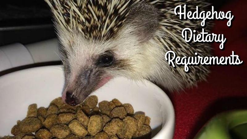 Hedgehog Diet Kibble Requirements