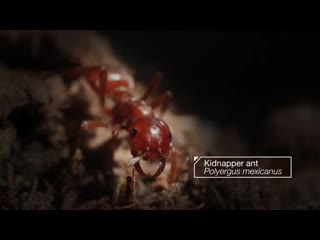 Kidnapper ants steal other ants babies and brainwash them deep look