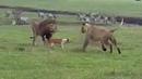 Собаки в деле Собака против медведя змеи львов грабителей