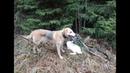 Охота с Русской гончей на зайца 16 11 19