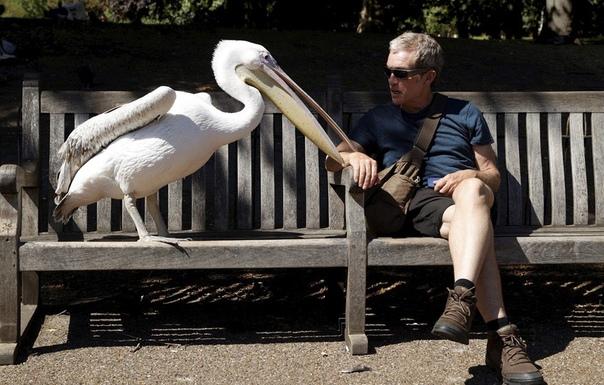 Пеликан и посетитель королевского парка в лондонском Вестминстере. Наши дни.