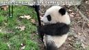 Panda Climbing Up The Camera Tripod | iPanda