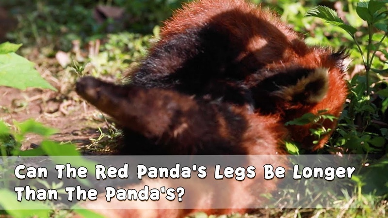 Can The Red Panda's Legs Be Longer Than The Panda's?   iPanda