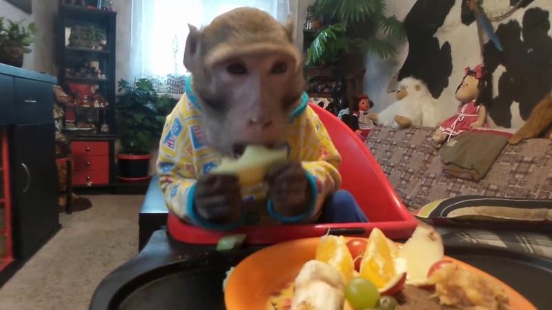 Что бы ни случилось обед по расписанию яванские макаки Семён и Маруся