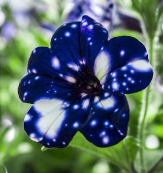 Завораживающая красота петунии сорта «Звёздное небо» Первые её открытия зафиксированы ботаниками в XVIII веке. Уже свыше столетия петунии украшают балконы и беседки домов и дач. Сей вид гибрид,