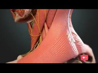 Анатомическое строение головы и шеи.mp4