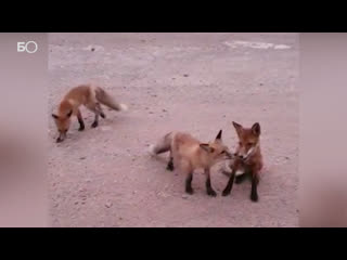 Застигнутые лесным пожаром лисы выбежали на обочину просить еду