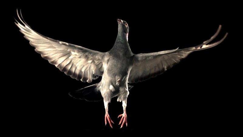 Slow Motion Pigeon Flight BBC Earth