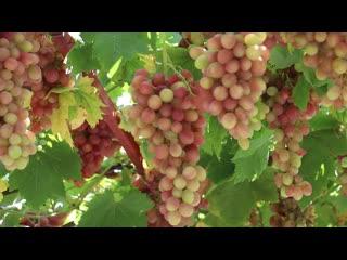 Вино из винограда, самый простой рецепт