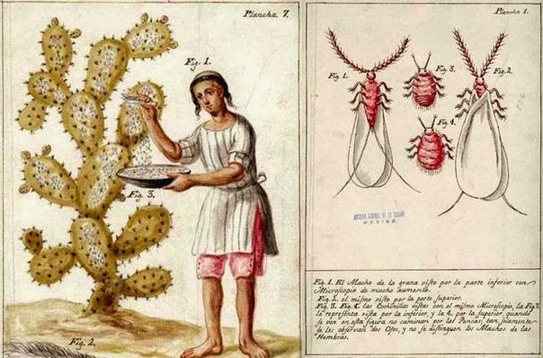 Интересные факты, которые вы не знали о кактусах 1. Кактусы можно естьВ Мексике, помимо лофофоры, очень любят кушать шишки кактуса под названием нопаль. Их продают в супермаркетах, делают из них