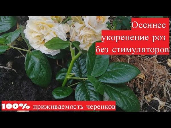 Осеннее укоренение роз без стимуляторов 100% приживаемость черенков на следующий год