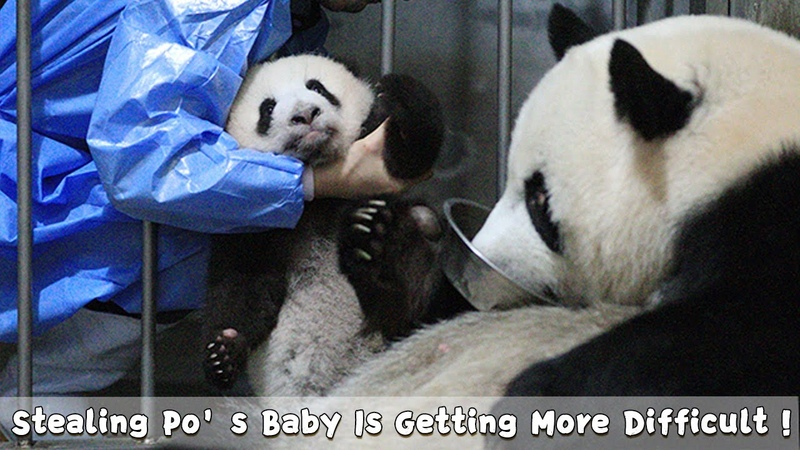Stealing Po's Baby Is Getting More Difficult For Nanny iPanda