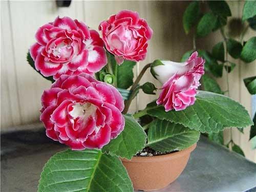 Глоксинии Обожаю глоксинии! Помню, в детстве постоянно любовалась этими цветами на бабушкиных подоконниках. Были они простенькими. Сейчас же, когда селекционеры вывели огромное количество сортов