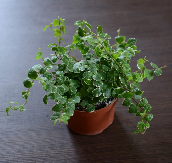 Фикус карликовый (лат. Ficus pumila)