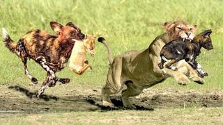 The God Help Mother Lion Destroy 20 Wild Dogs Save Lion Cub   EPIC BATTLE BETWEEN LION & WILD DOGS