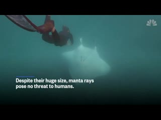 A manta ray with a fishhook near its eye seemingly asked snorkelers for help
