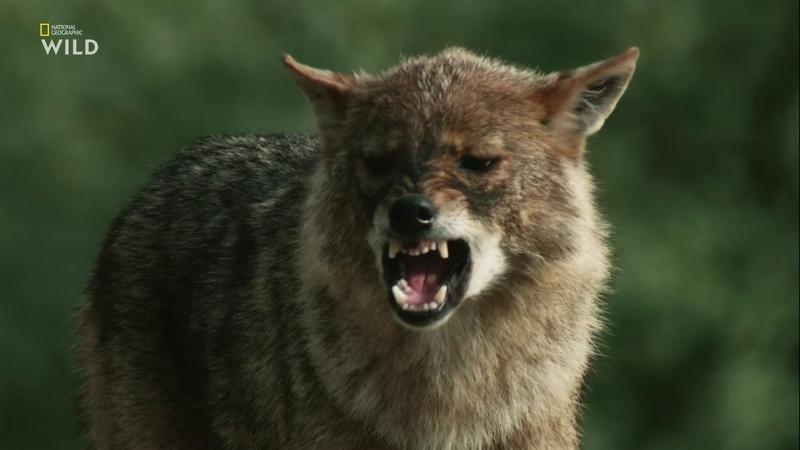 Дикие охотники. Волки и шакалы