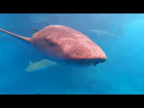 Freediving with Sharks in 4K Maldives