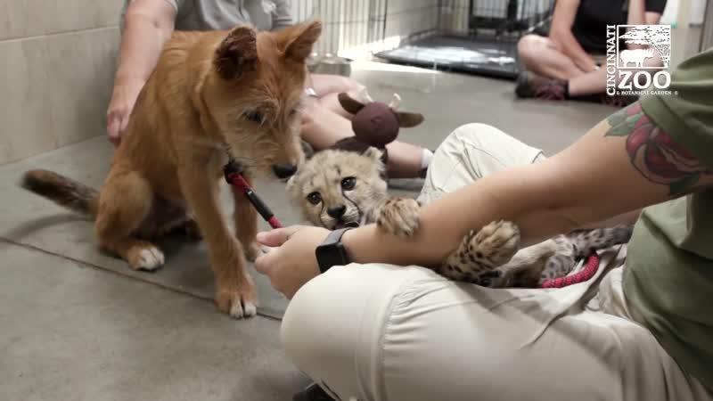 Гепардёнок Крис и щенок Ремус Знакомство Цинциннатский зоопарк