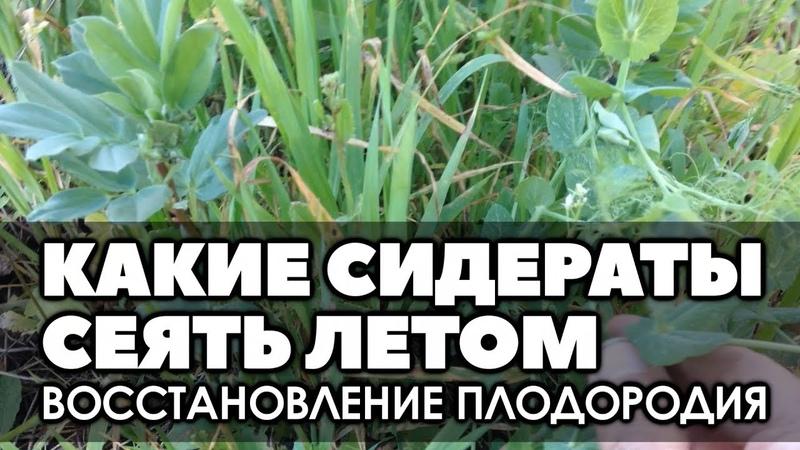 🌱 Какие сидераты сеять летом для восстановления плодородия почвы