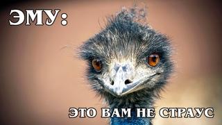 ЭМУ: Самая большая птица Австралии – НЕ страус | Интересные факты про птиц и животных Австралии