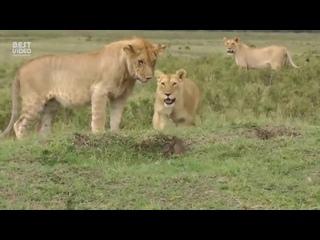 «Да ну его, неадекватный какой-то».Львы против мангуста