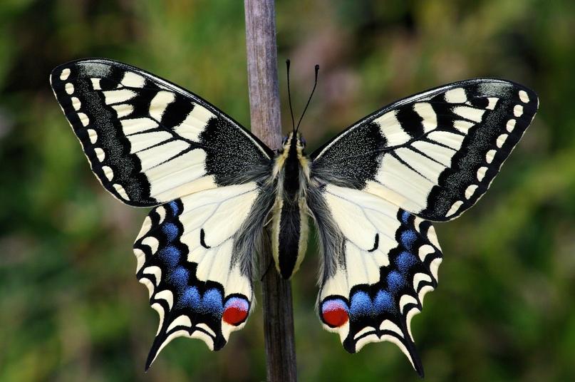 Так выглядит «имаго» (взрослая бабочка). Фото — Википедия.