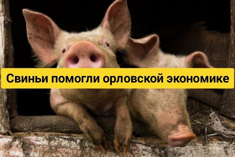 Свиньи помогли орловской экономике