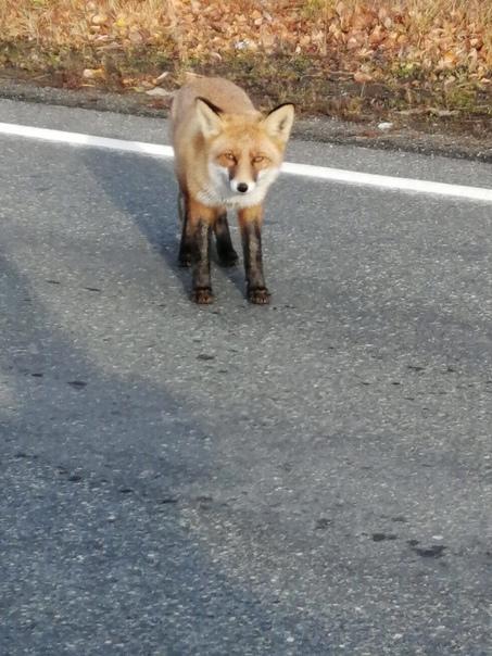 Вот такая рыжая красавица вчера вышла на дорогу за...