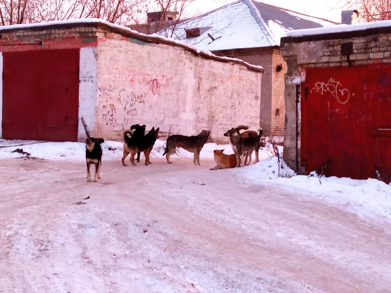 «За неделю укусила 8 человек»: горожане обеспокоены большими стаями собак в одном из городов Прикамья