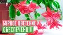 ДЕКАБРИСТ ЗАЦВЕТЕТ 100, ЕСЛИ ВЫ БУДЕТЕ СЛЕДОВАТЬ ИНСТРУКЦИИ / Садовый гид
