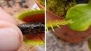 Венерина мухоловка обедает