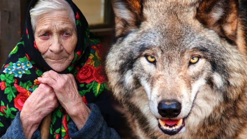 Волк спас бабулю от непрошеных гостей Год назад она взяла его волчонком приняв за щенка