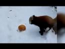 Красная Панда Подборка Приколы Милота