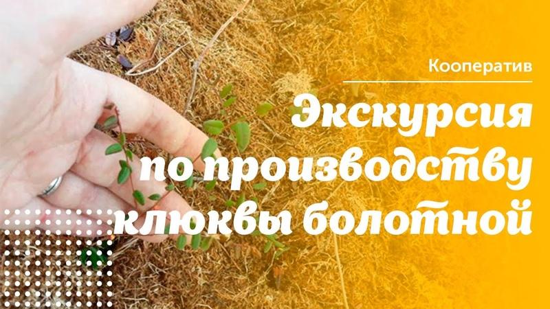 Экскурсия по клюквенной плантации за 10 минут Как живёт плантация в сезон сбора черенков