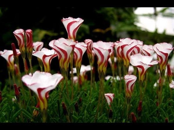 Самые красивые и необычные цветы мира Цветы и вдохновение Обзор Ангел пролетел