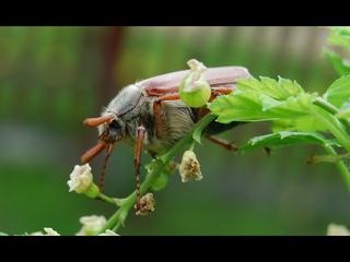 Последствия нашествия майского жука в Рязани