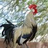 Птицеводство: куры, гуси, индейки, страусы... яй