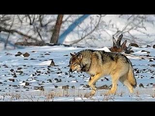 Наедине с волками / Alone with Wolves (плато Путорана)