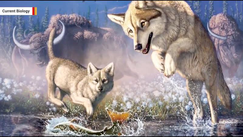 57 000 летний волчонок оттаял из вечной мерзлоты