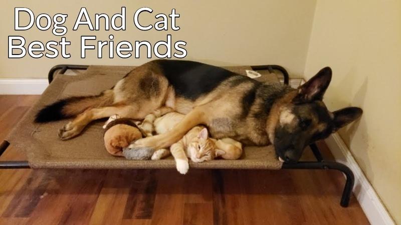 How a German Shepherd and a Kitten Became Best Friends