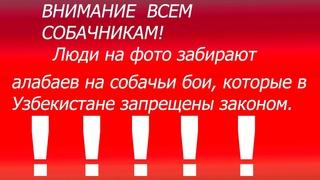 Внимание - преступники в приюте хотели забрать алабаев на собачьи бои.