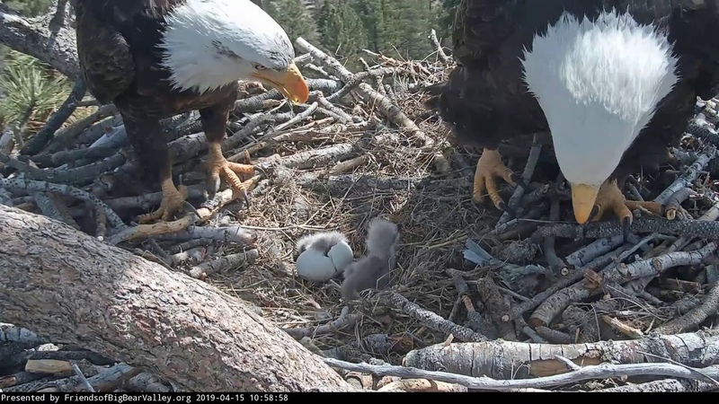 04 15 19 Big Bear Lake eagles Shadow sees baby 2 for the first time